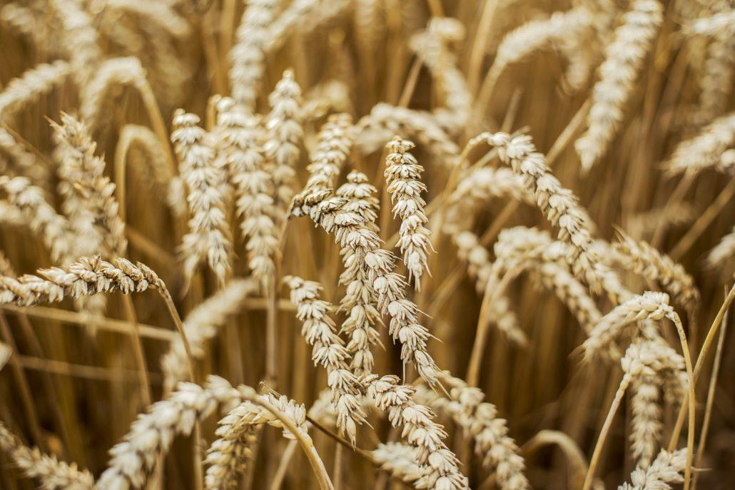 Getreide vor der Ernte