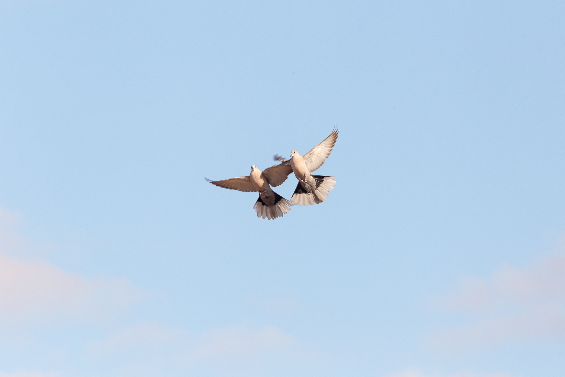Rivalisierende Tauben